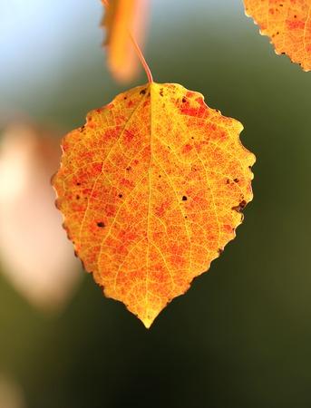 aspen leaf: bright colorful aspen leaf in a field Stock Photo
