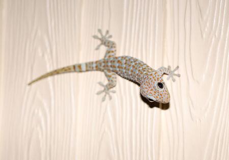 tokay gecko: beautiful photos of exotic Tokay gecko on the wall