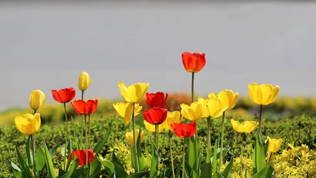 sun lit: bright picture blooming tulips in the spring sun lit Stock Photo
