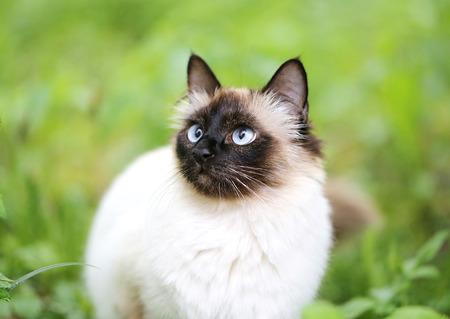 緑の美しいふわふわシャム猫