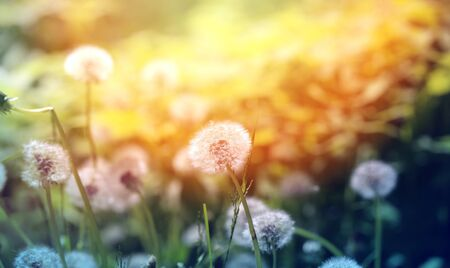 Beautiful dandelion flowers on a  grass photographed close up