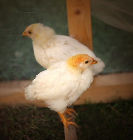 fluffy: Photo beautiful fluffy chickens on a farm Stock Photo