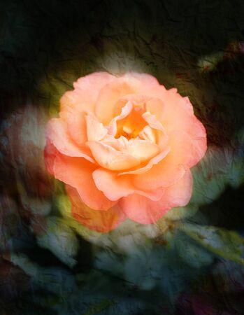 marvelous: marvelous rose lit by the sun in the garden