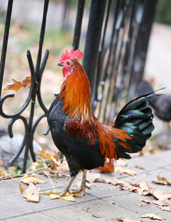 gallo: Multi hermoso fotografiado gallo de color se cierran para arriba