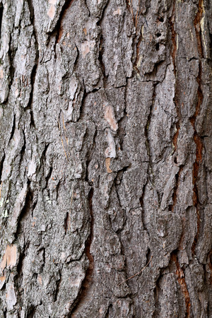 pinetree: The bark of the pine tree photographed close up