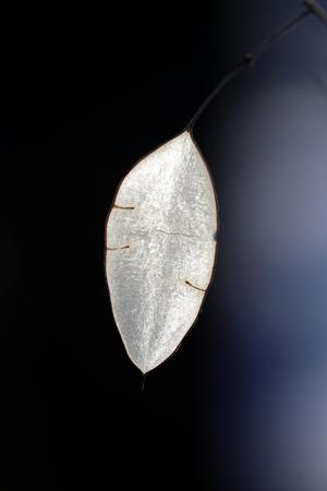 dried leaf: Beautiful macro photo of dried leaf of silver on a dark background