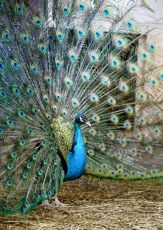 tail fan: Photo portrait of a beautiful peacock in the spring during mating season