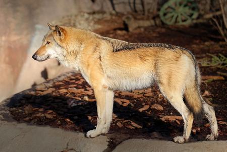 be alert: beautiful photo with a wolf illuminated by the sunutiful photo of a wolf