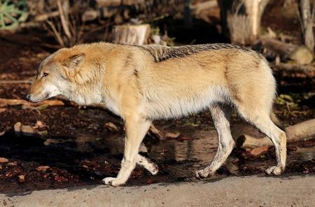 barbaric: beautiful photo with a wolf illuminated by the sunutiful photo of a wolf