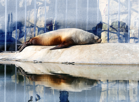 sea lion: Photo sea lion at rest in a zoo Stock Photo