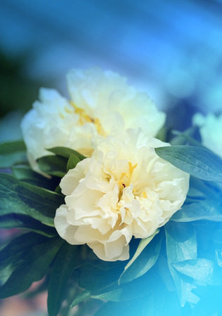 peonies: Photo retro beautiful peonies unusual natural background