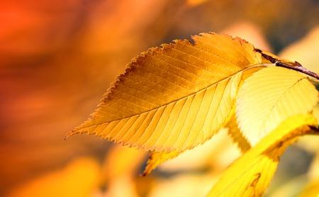beautiful autumn macro yellow leaves on an orange background blurred