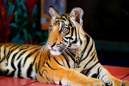 shape cub: Photo portrait of funny little tiger cub Stock Photo