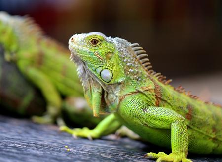 Fotos iguana verde brillante en el parque Foto de archivo