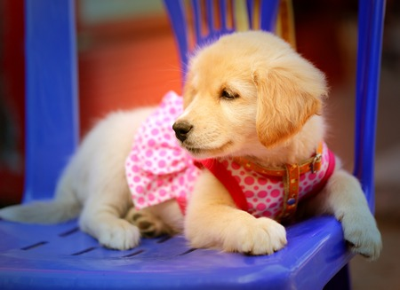 Photo  fluffy puppy