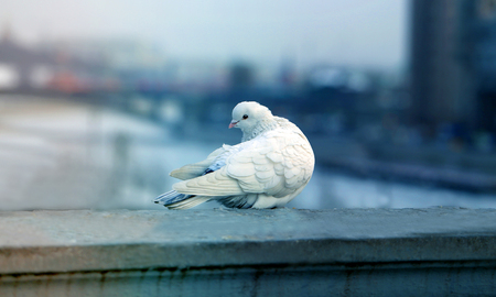 Photos white dove close to the city Reklamní fotografie