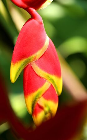 Photo beautiful Heliconia on a blurred background Stock Photo