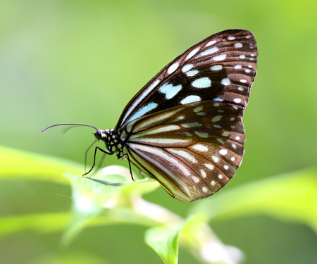 flit: Macro photo of a beautiful tropical butterfly in the park