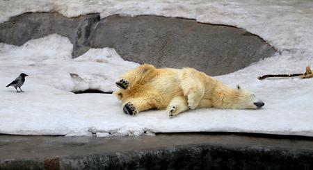 눈의 배경에 재미 있은 잠자는 곰의 사진