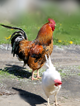 Photo of a beautiful rooster in the village on a sunny afternoon Stock Photo