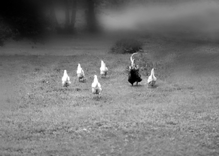 Funny photo of a runaway chicken and a rooster in the village