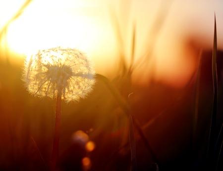 Beautiful retro photo of wonderful dandelions sunlit