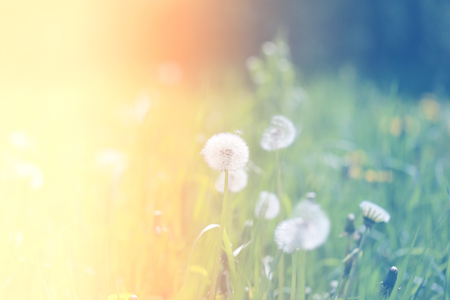 Beautiful retro photo of wonderful dandelions sunlit Stock Photo - 79245739