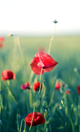 Photo of beautiful poppy fields illuminated by the sun
