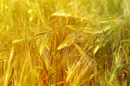 Photo of a macro of a wonderful field of rye on a sunny day