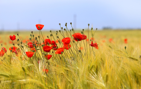 Photo of beautiful poppies blossoming in a meadow Фото со стока - 80171848