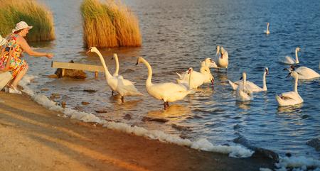 Photo of people feeding white swans on a lakey