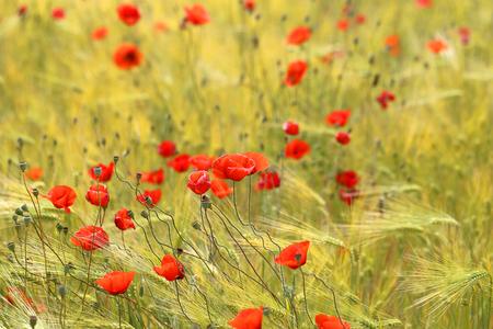 美しいポピー草原の花の写真 写真素材