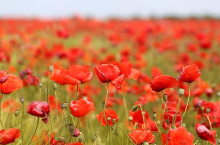 초원에 꽃이 만발한 아름 다운 양 귀 비의 사진