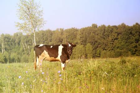 Photo of a beautiful cow Reklamní fotografie