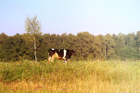 Foto van een mooie koe Stockfoto