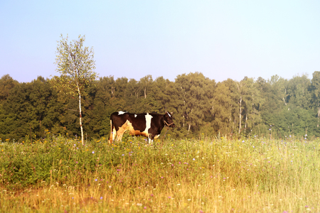 Photo of a beautiful cow Фото со стока