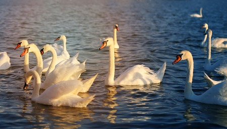Photo of beautiful swans on a lake in the sunny afternoon Stock Photo