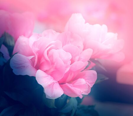 Photo summer background with a beautiful rose Stock Photo