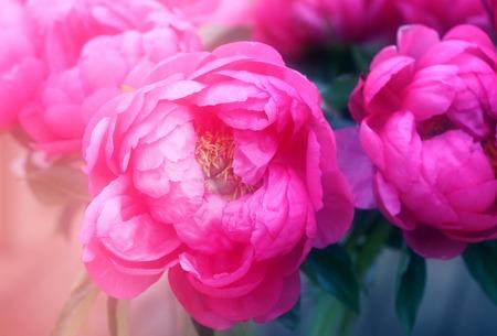 Photo interesting beautiful peonies in a summer park Stok Fotoğraf - 84655904