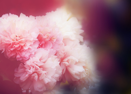 Photo interesting beautiful peonies in a summer park Stok Fotoğraf - 84655975
