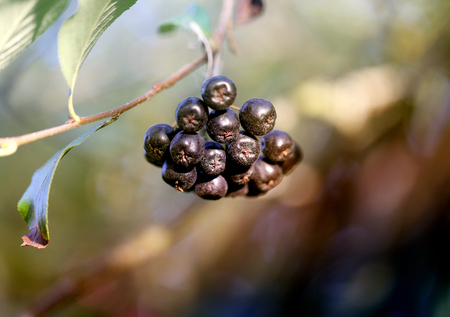 Photo of a black mountain ash on a blurry pictorial background