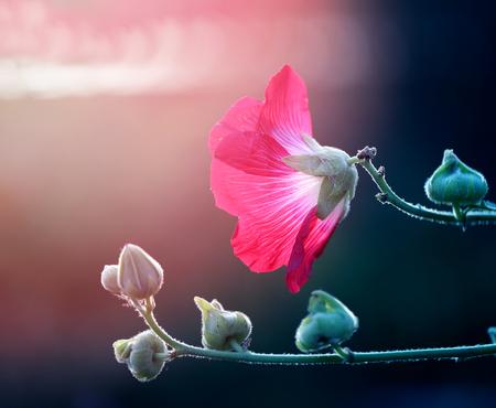 Photo of a beautiful red mallow flower on a green background Zdjęcie Seryjne