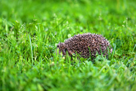 Photo of a little funny hedgehog in green grass