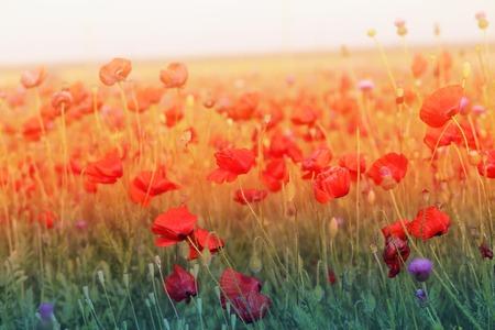 foto de hermosas amapolas que florecen en un prado