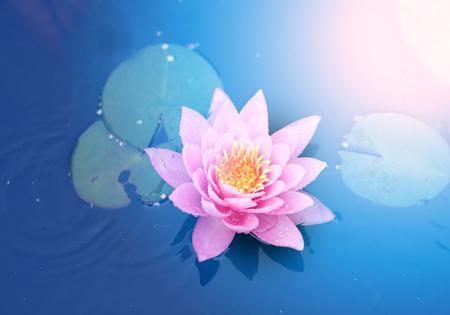明るいピンクの睡蓮