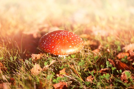 Photo of a bright beautiful red fly agaric in the autumn sunny day
