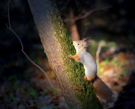 松の木の鮮やかな写真マクロ面白い毛皮のリス 写真素材