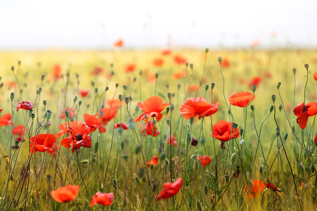beautiful poppies blossoming in a meadow Stock Photo