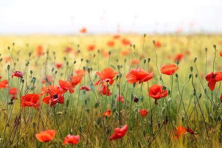 beautiful poppies blossoming in a meadow Zdjęcie Seryjne