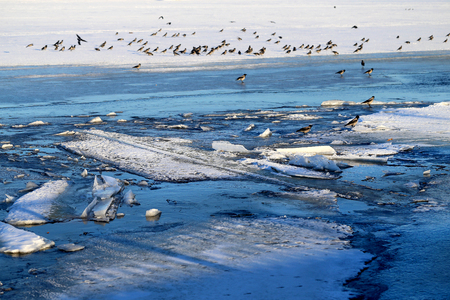Photo of a spring flock of crows on the ice floes of a river lit by the sun